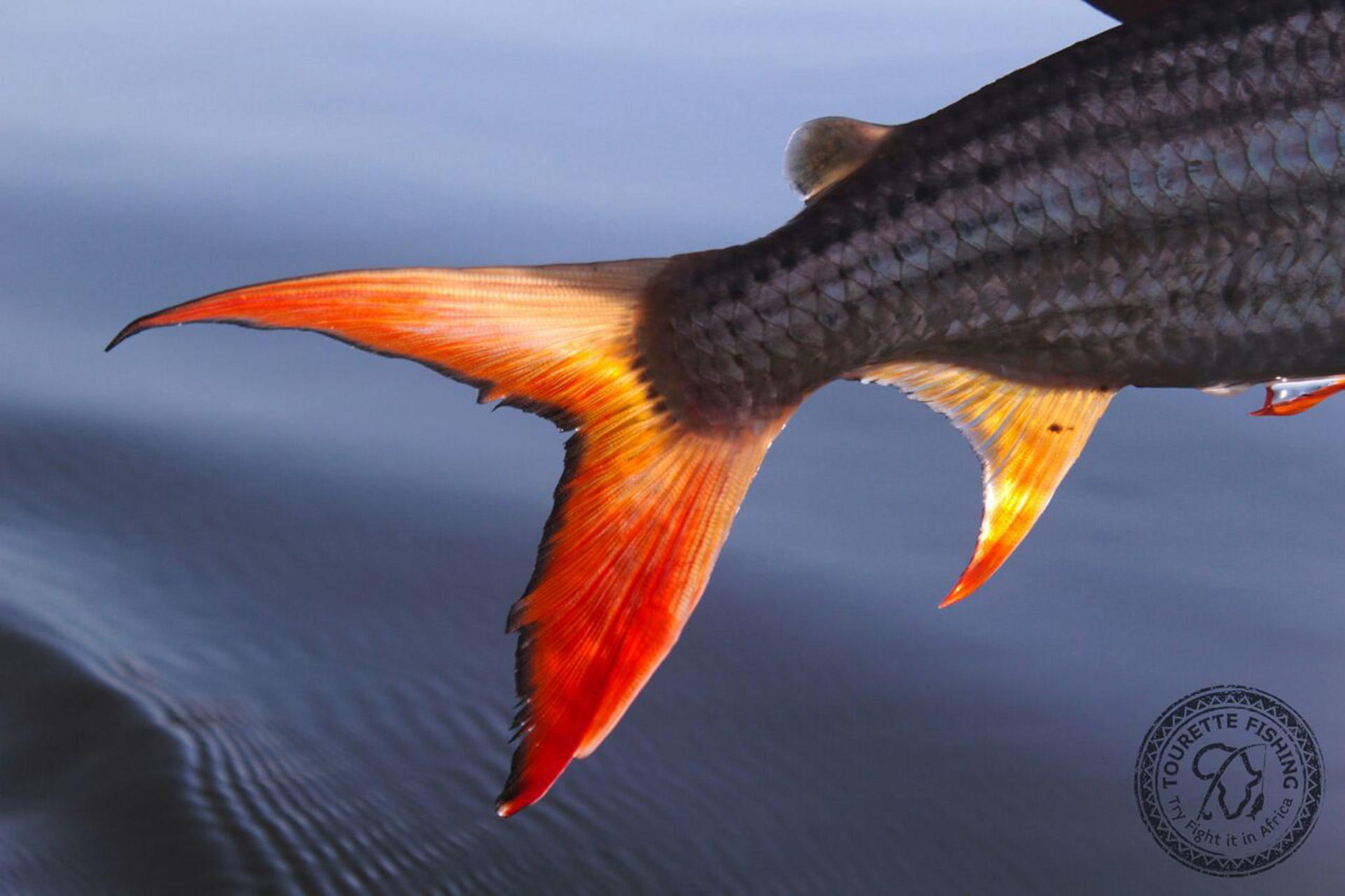 okavango-barbel-run-tigerfish-season-2016-week-1-tourette-fishing-blog