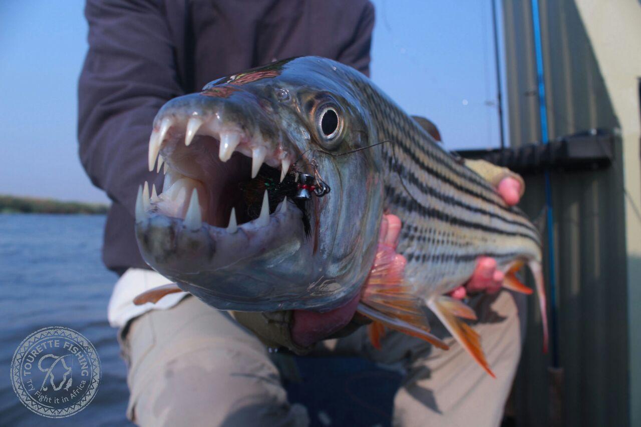 okavango-barbel-run-tigerfish-season-2016-week-2-tourette-fishing-blog-mouth
