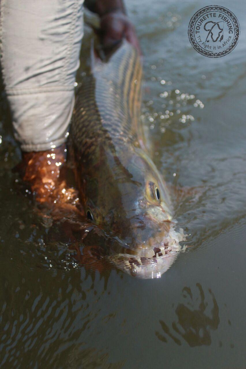 okavango-barbel-run-tigerfish-season-2016-week-3-tourette-fishing-blog-fish-water