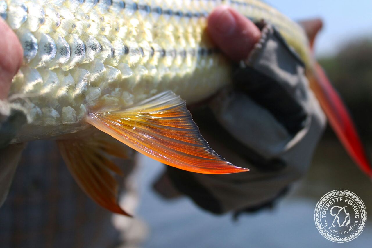 okavango-barbel-run-tigerfish-season-2016-week-3-tourette-fishing-blog