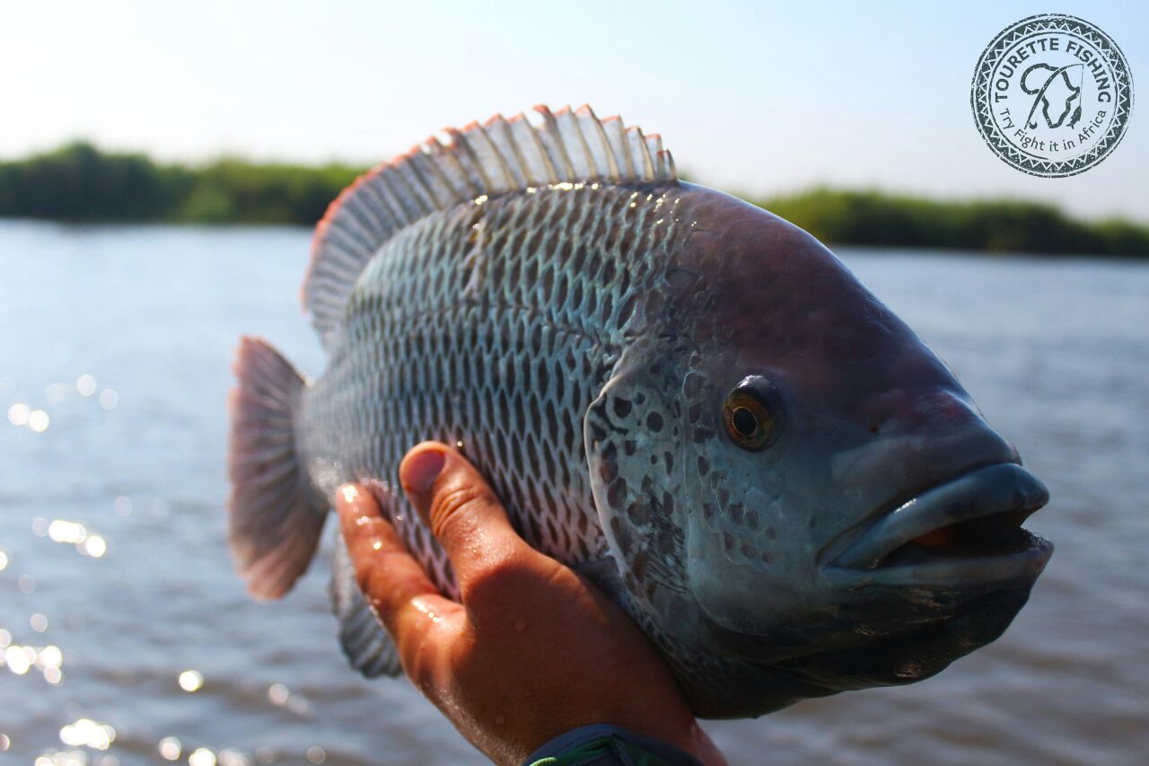 okavango-barbel-run-tigerfish-season-2016-group-4-tourette-fishing-blog-beautiful-three-spot-bream