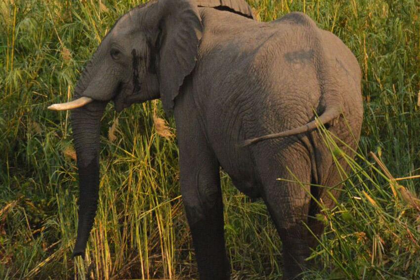 okavango-barbel-run-tigerfish-season-2016-grp-5-tourette-fishing-blog-elephant