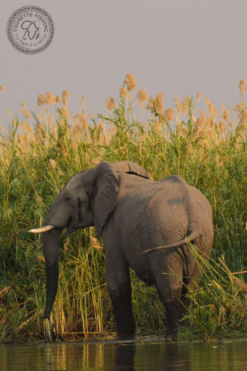 okavango-barbel-run-tigerfish-season-2016-grp-5-tourette-fishing-blog-jans-first-elephant-sighting
